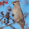 Look out for Waxwings in Aberdeenshire